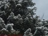 Snow Laden Evergreen, Harvard, Mass.