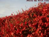 Bush in Fall's Reds, Saugus, Massachusetts