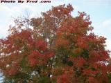 Maple in Fall Foliage Colors, McCarthy School, Peabody