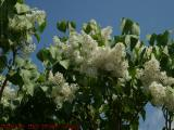 White Lilacs in Spring Sun, George Street, Medford, Mass.